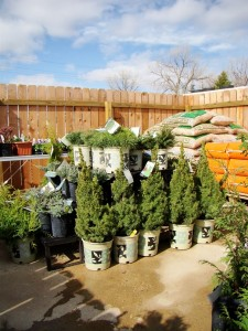 Decorative Evergreens: gold junipers, blue junipers, mugo pines, bird nest spruces, alberta spruces & thuja