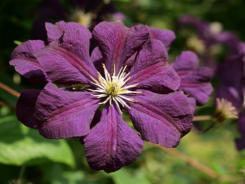 clematis etoile violette prairie rose greenhouse nursery. Black Bedroom Furniture Sets. Home Design Ideas