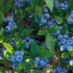 North Country Bueberry