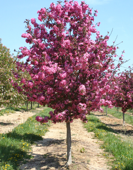 Trees prairie rose greenhouse nursery for Crabapple tree