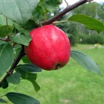Norland Apple