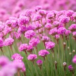 Ruby Sea Thrift