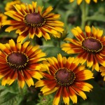 Rustic Colors Daisy