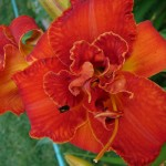 Moses Fire Daylily